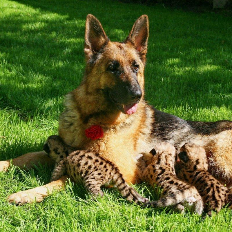 Мама для тигрят