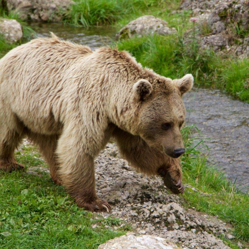 Медведь в городе