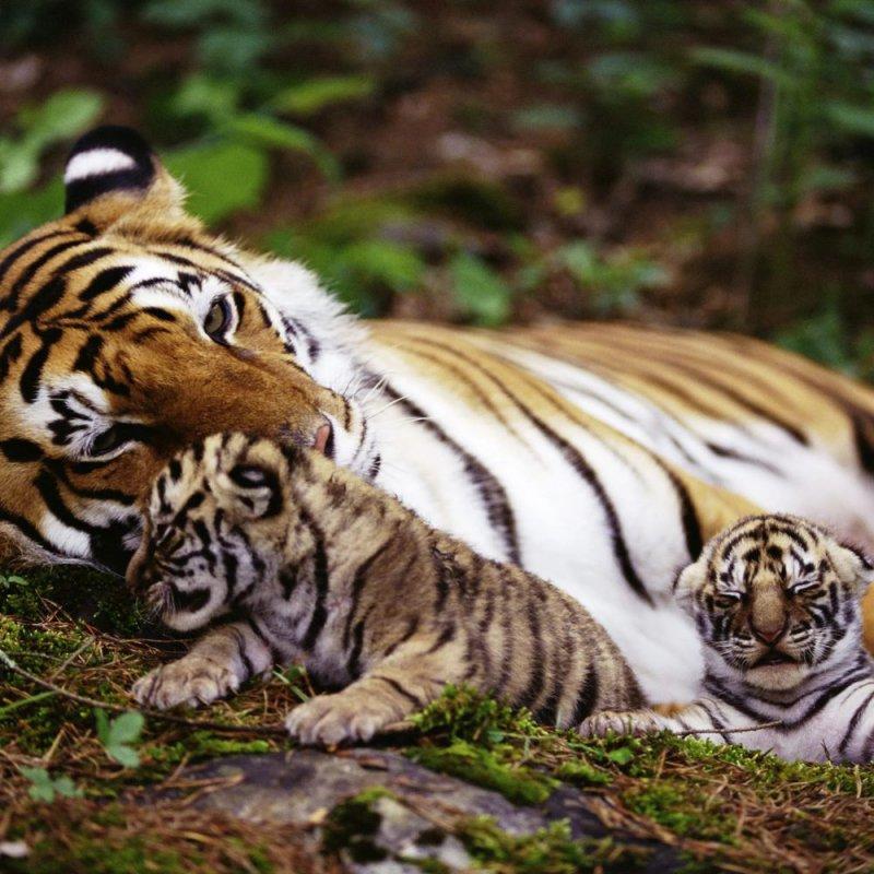 Многодетная тигрица