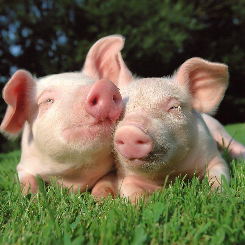 Свинья-полиглот