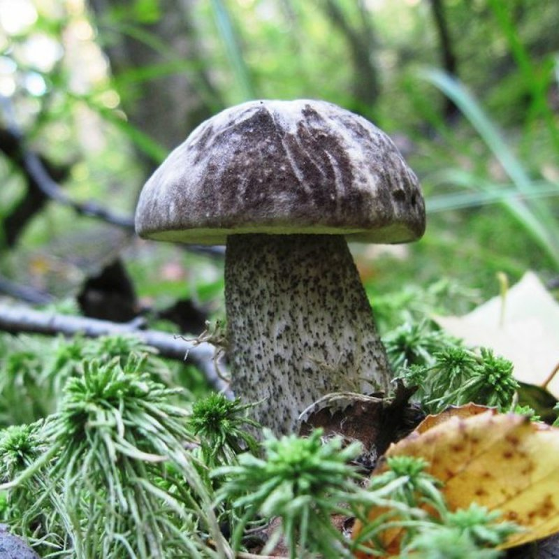 Чернобыльские грибы для NASA