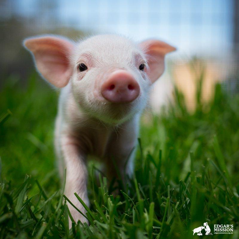 Свинья-патрульный