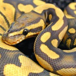 Змея без поводка